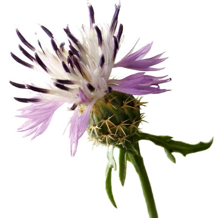 CENTAURÉE RUDE (Centaurea Aspera)