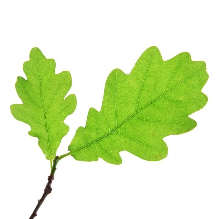 CHÊNE (Quercus Robur)