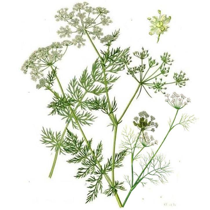 CARVI ( Carum carvi L)