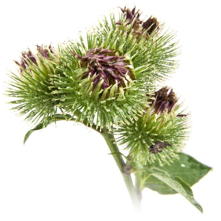 une fleur de bardane