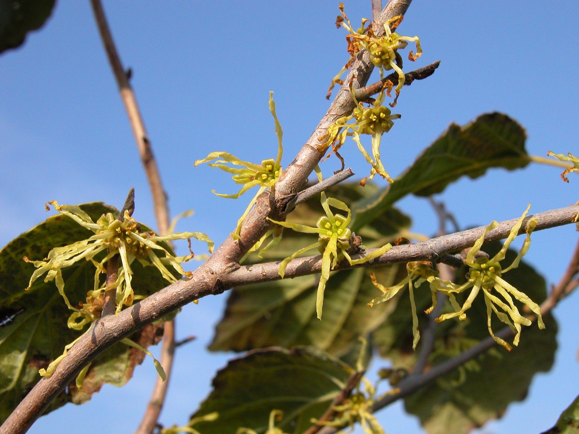 arbre avec feuilles d'hamamélis